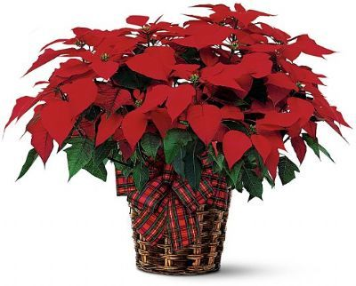 Small Poinsettia Plant