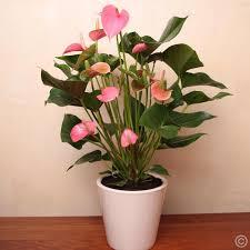 Antirium Plant